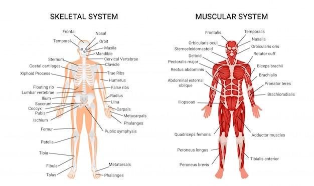 Systèmes squelettiques musculaires humains, affiche informative