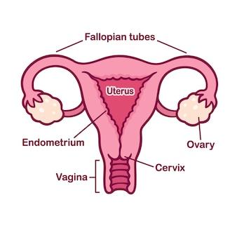 Tableau d'anatomie du système reproductif féminin dessiné à la main. utérus et col de l'utérus, ovaires et trompes de fallope dans un style cartoon simple.