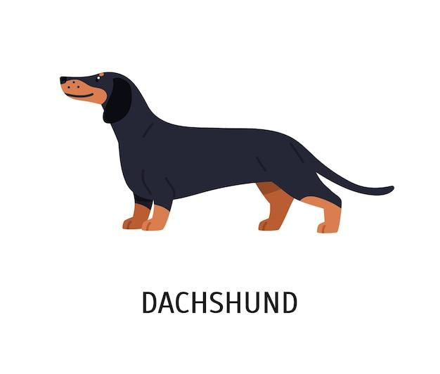 Teckel. adorable chien de chasse ou chien de chasse avec pelage à poil court isolé sur fond blanc. magnifique animal domestique ou animal de compagnie de race pure. illustration vectorielle colorée en style cartoon plat.