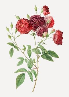 Ternaux rose en fleur