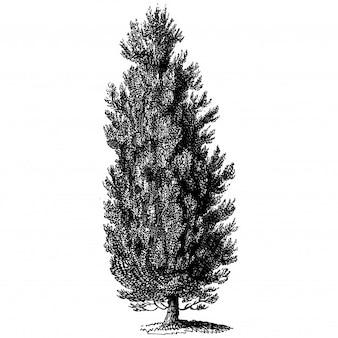 Thuja Tree Vintage Illustrations