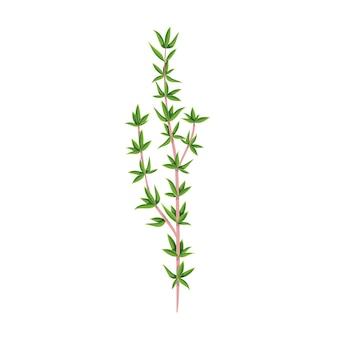 Thym vert, nourriture végétarienne, menu sain. épices d'herbes, salade et repas. illustration vectorielle isolée en style cartoon.