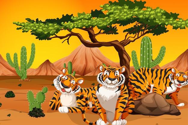 Tigre dans le désert