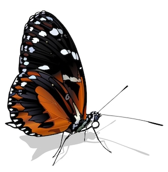 Tigre longwing butterfly heliconius hecale