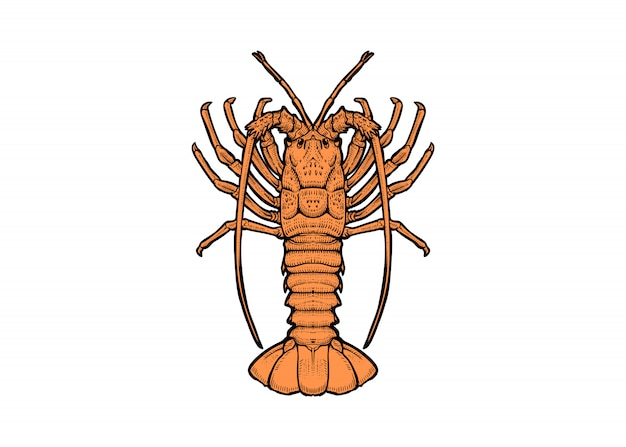Tirage au homard de roche