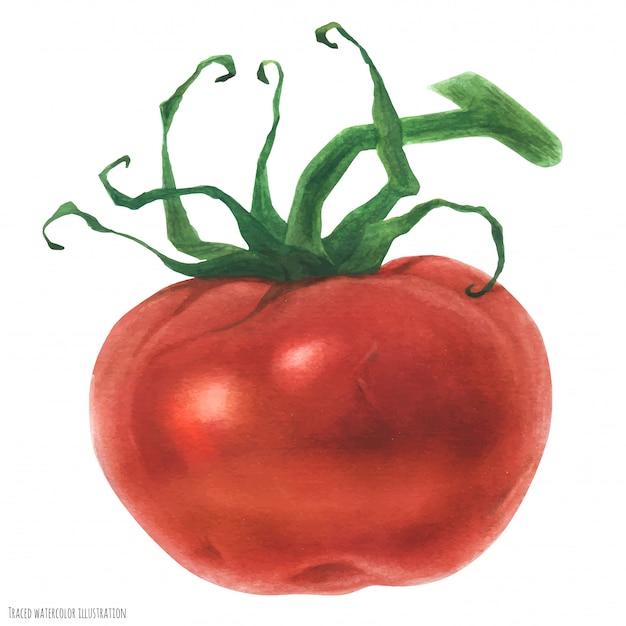 Tomate rouge fraîche, aquarelle