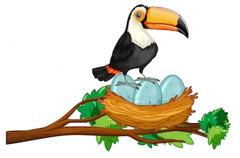 Toucan assis sur un nid d'œufs
