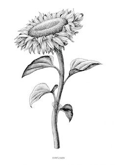 Tournesol dessin à la main vintage noir et blanc isolé sur fond blanc