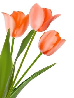 Trois belles tulipes, isolées sur blanc.