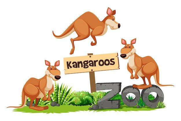 Trois kangourous au signe du zoo
