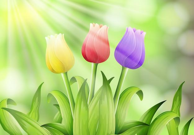 Tulipe colorée dans la nature
