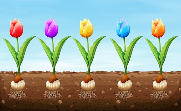 Tulipe de couleur différente sur le sol