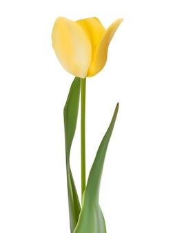 Tulipe isolé sur blanc