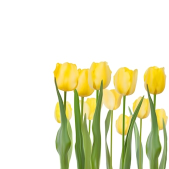 Tulipes sur fond blanc.