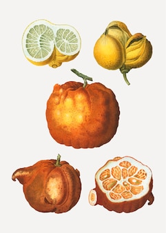 Types d'agrumes