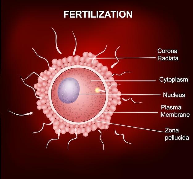 L'union d'un ovule humain et du sperme