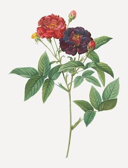 Van eeden rose