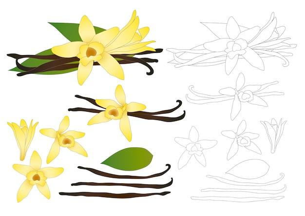 Vanilla planifolia fleur contour