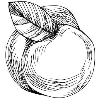 Vecteur de croquis de pêche isolé. fruits d'illustration dessinés à la main. rétro style gravé de nourriture d'été. croquis végétarien vintage détaillé. idéal pour votre logo de conception, emblème, étiquette, affiche, impression, menu