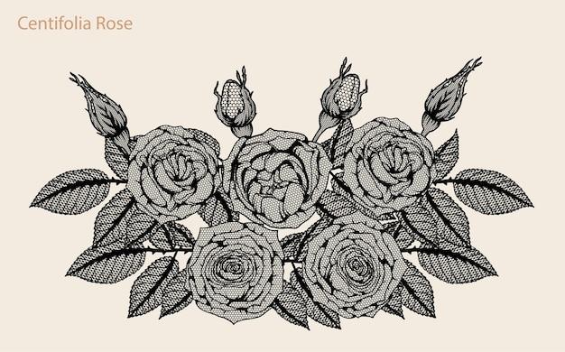 Vecteur de dentelle rose centifolia mis à la main de dessin.