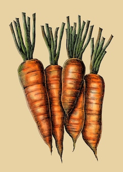 Vecteur de dessin de carottes biologiques fraîches