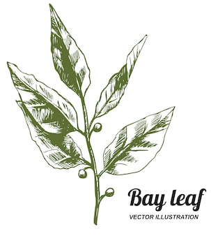 Vecteur dessiné main feuille de laurier, esquisse à l'encre. herbes de cuisine et épices.