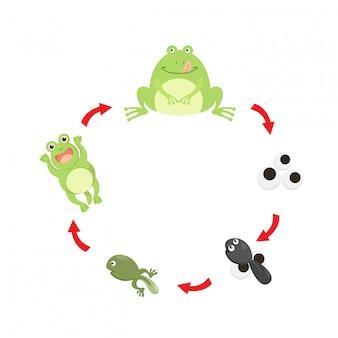 Vecteur de grenouille illustration cycle de vie