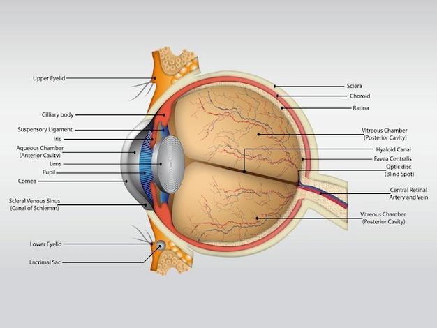 Vecteur de l'organe du corps de l'anatomie humaine