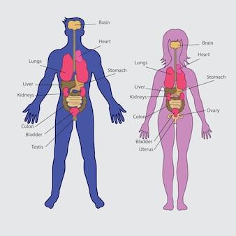 Vecteur d'organes internes humains de base