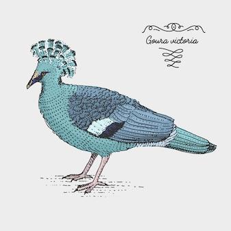 Victoria crowned pigeon gravé, illustration dessinée à la main dans le style de gravure sur bois, espèces de dessin vintage.