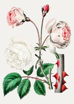 Vieux rose ayrshire