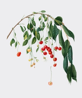 Visciola cerises de pomona italiana illustration