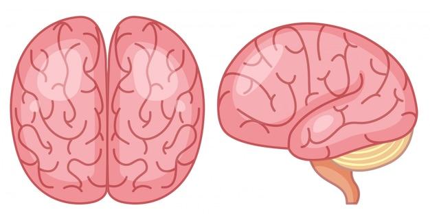 Vue de dessus et de côté du cerveau