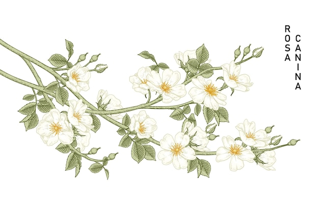 White dog rose (rosa canina) fleur illustrations botaniques dessinées à la main.