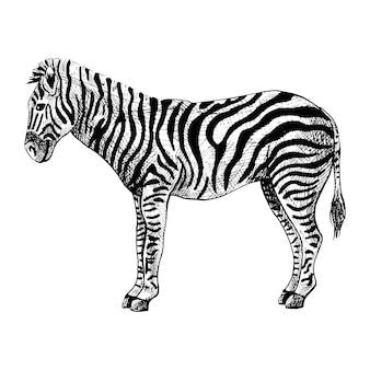 Zèbre isolé sur fond blanc. esquissez la savane animale à rayures graphiques dans un style de gravure.