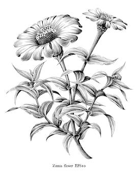 Zinnia fleur botanique illustration vintage noir et blanc clipart sur blanc