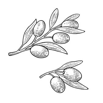 Aceitunas en rama con hojas. grabado de la vendimia