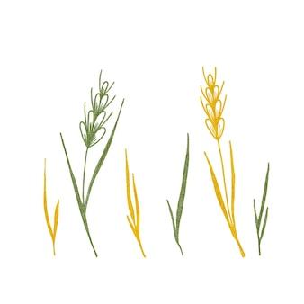 Acuarela conjunto de espiguillas y hierbas sobre un fondo blanco.