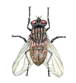 Acuarela de mosca la mosca de la fruta común es un insecto