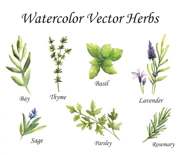 Acuarela vector de hierbas