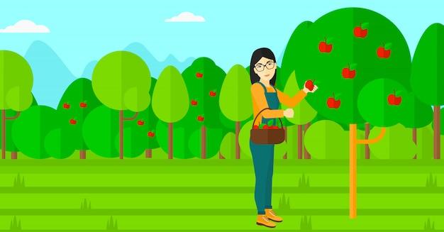 Agricultor recogiendo manzanas.