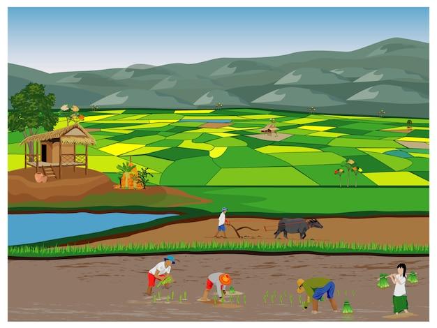 Agricultor trasplante de siembra de arroz en arrozales