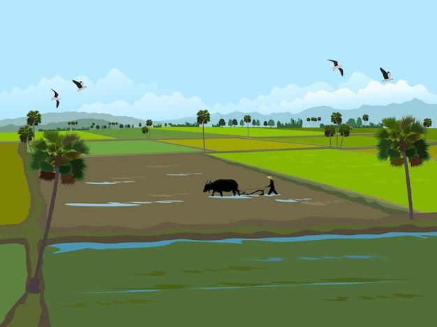 Los agricultores están utilizando búfalos para cultivar el suelo, palmeras y montañas al fondo