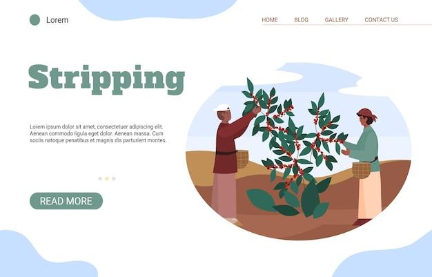 Agricultores masculinos y femeninos con cestas pelando los granos de café del árbol