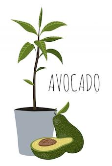 Aguacate - árbol de aguacate medio, entero y con hojas en maceta.