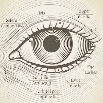 Aguafuerte del ojo humano con subtítulos. córnea, iris y pupila. nombrar partes del ojo para libros, enciclopedias.
