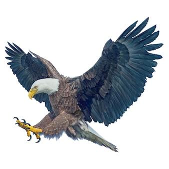 Águila calva con alas volando swoop ataque mano dibujar