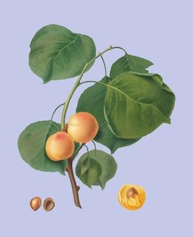 Albaricoque amarillo de la ilustración de pomona italiana