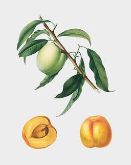 Albaricoque de la ilustración de pomona italiana