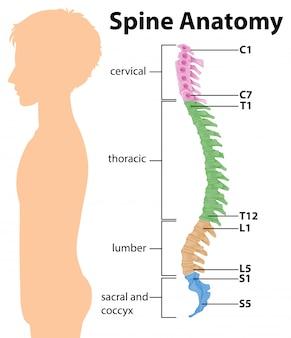 Anatomía de la columna vertebral o infografía de curvas espinales.